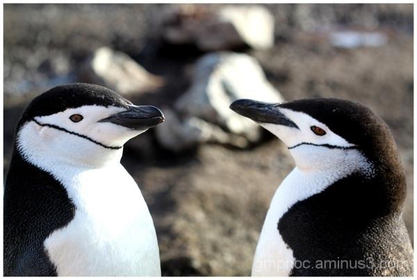 Pingüinos barbijo (Pygoscelis antarctica) - M.