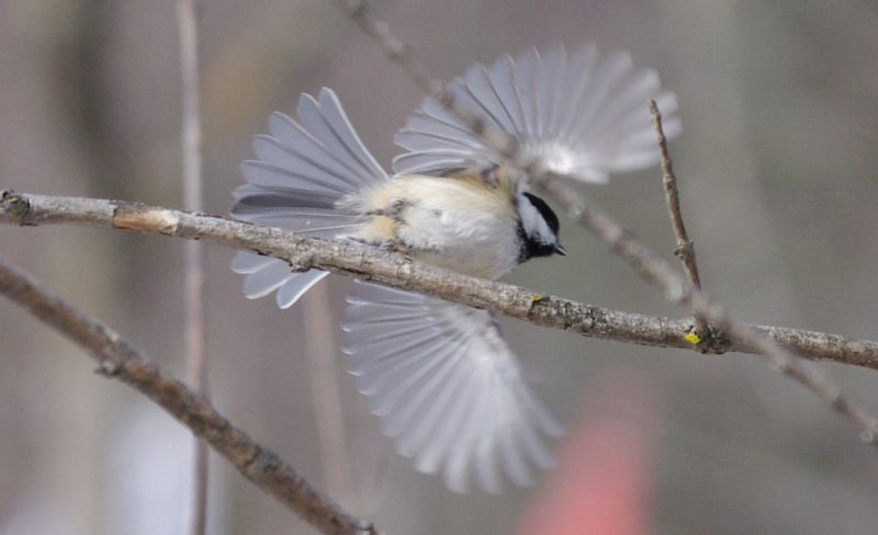 A chickadee taking off