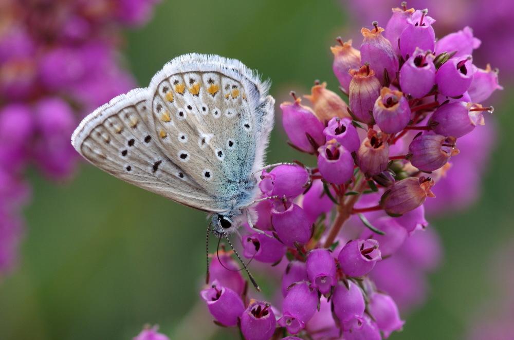 Papillon landais