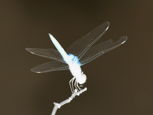 Conversation between Dragonfly and mosquito (Inver