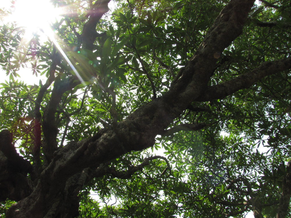 Champa Tree