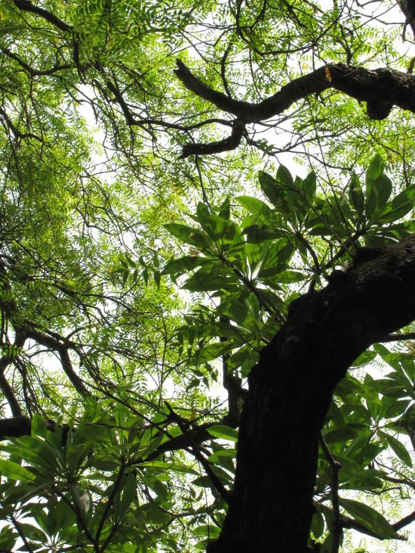 Champa & Neem Tree