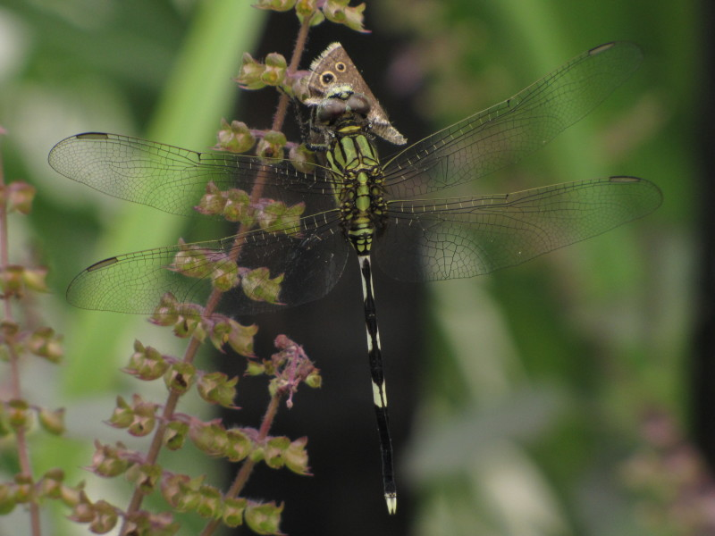Dragonfly feasting butterfly