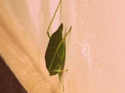 Leafy Grasshopper