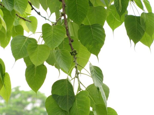 Pristine Peepal Leaves (Bodhi Tree)
