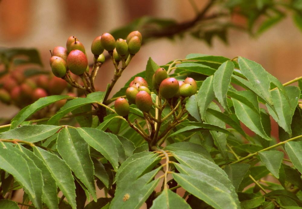 Curry Leaf tree Berries