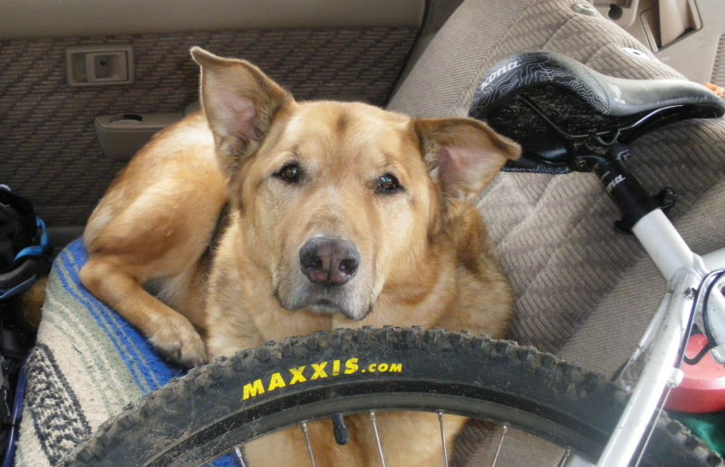 dog in car with bike