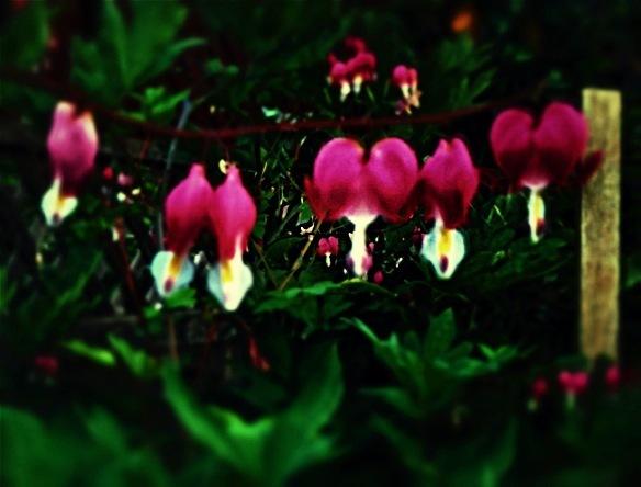 blurry close up of a bleeding heart