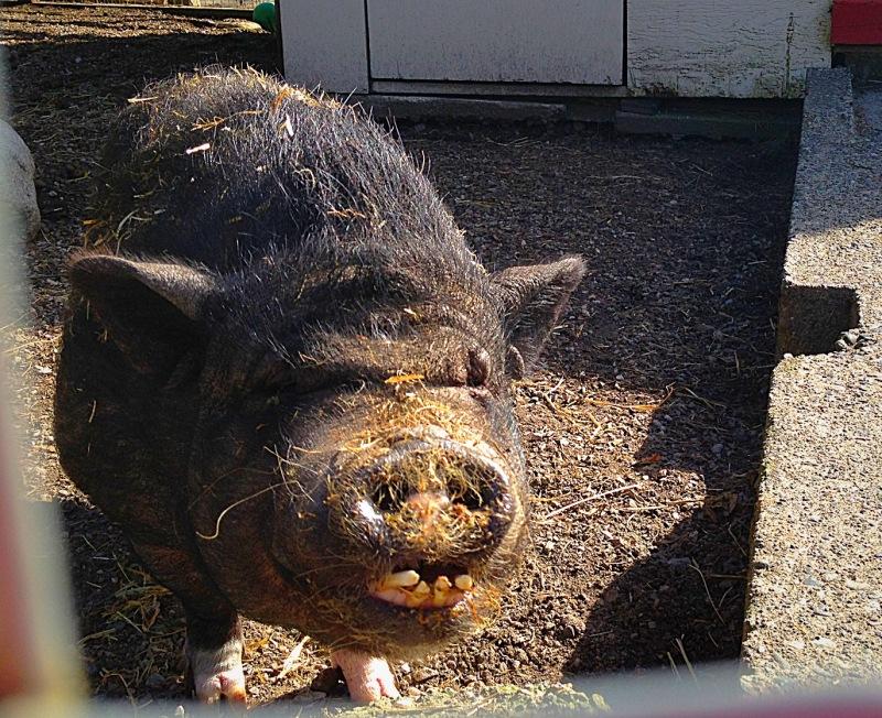 pig on Maplewood farm
