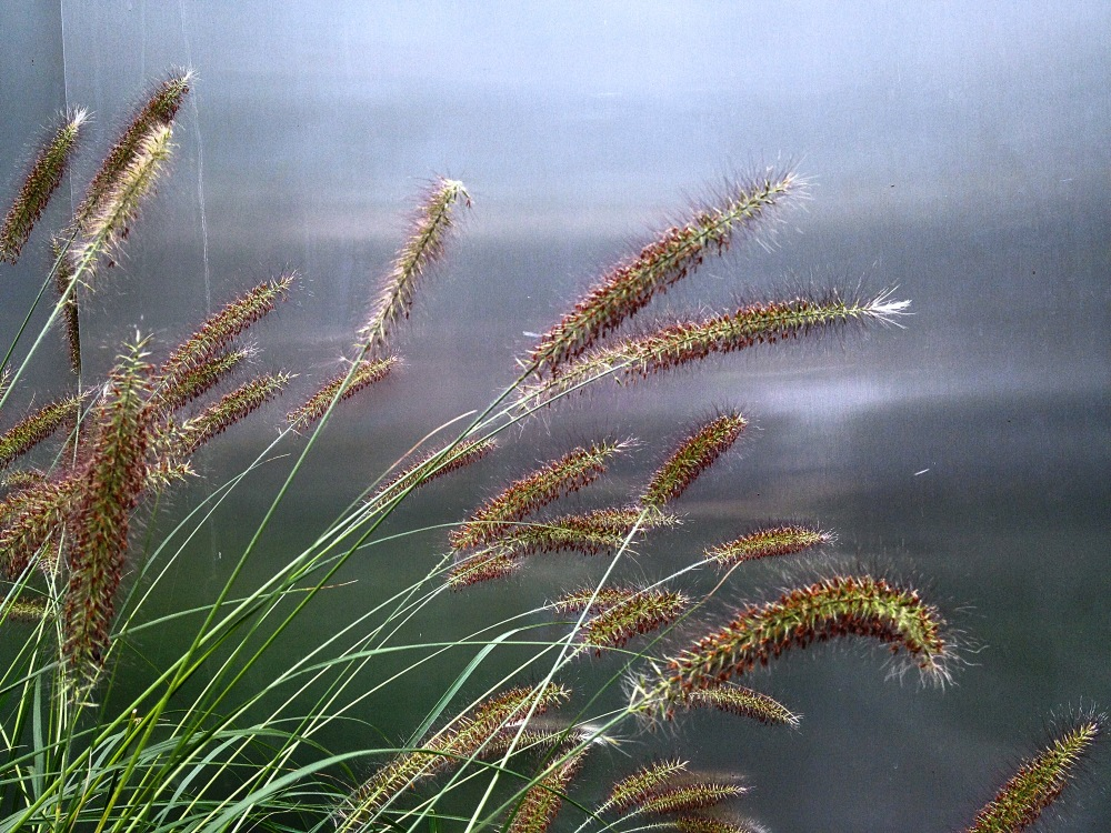 pennisetum, iPHone, fountain grass
