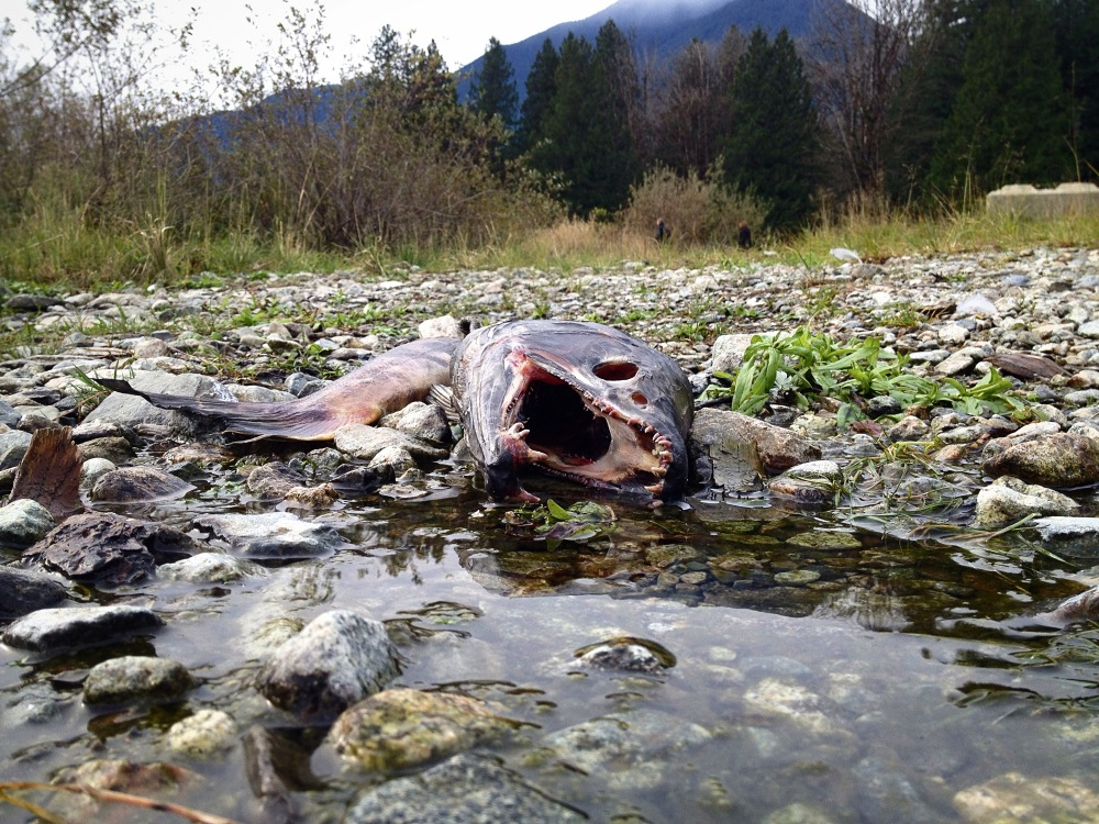 salmon after spawning