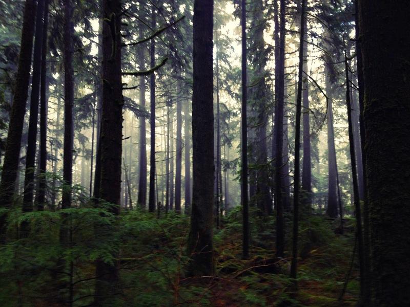 misty forest fog