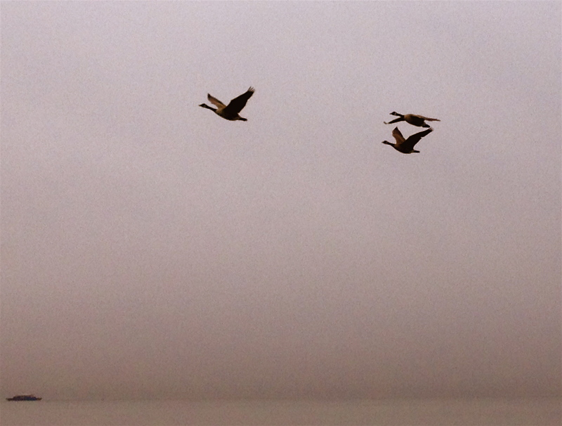 geese flying over water and a boat