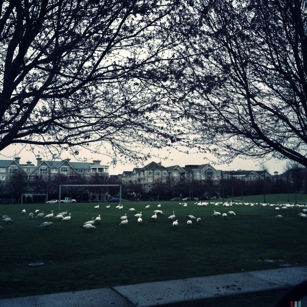 snow geese in richmond