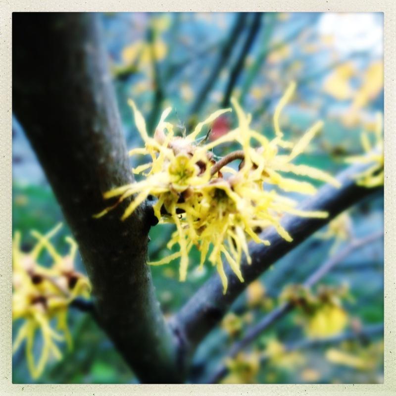 Witch hazel flower