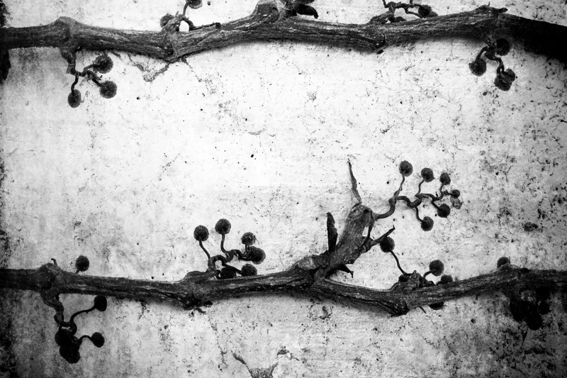 Vine on a wall