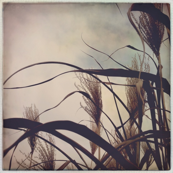 Miscanthus against sky