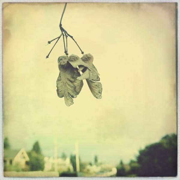 Dangling samara