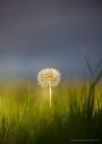 dramatic dandelion
