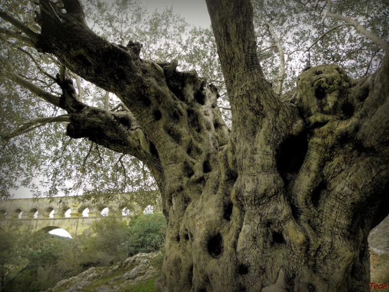 L'olivier symbole de paix...