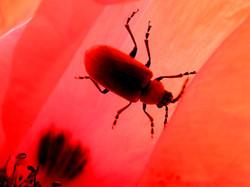 Insecte dans un coquelicot