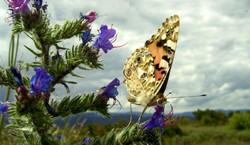 """""""Belle dame"""" un joli nom pour un papillon..."""
