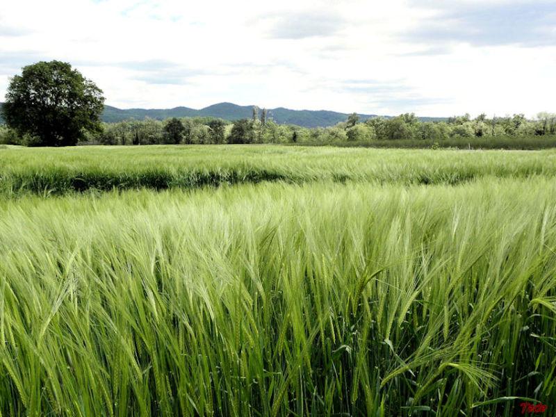 Champ de blé vert