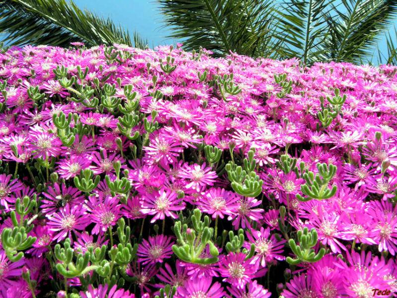 Fleurs de delosperma
