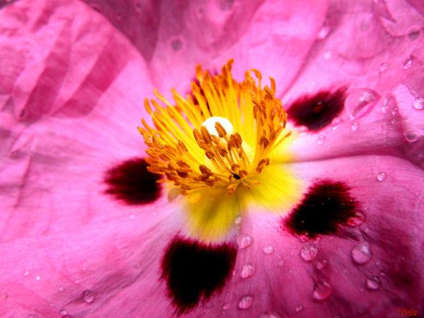 Fleur de ciste dans la rosée