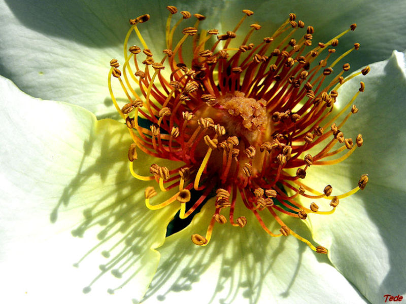 Au coeur de la fleur d'églantier