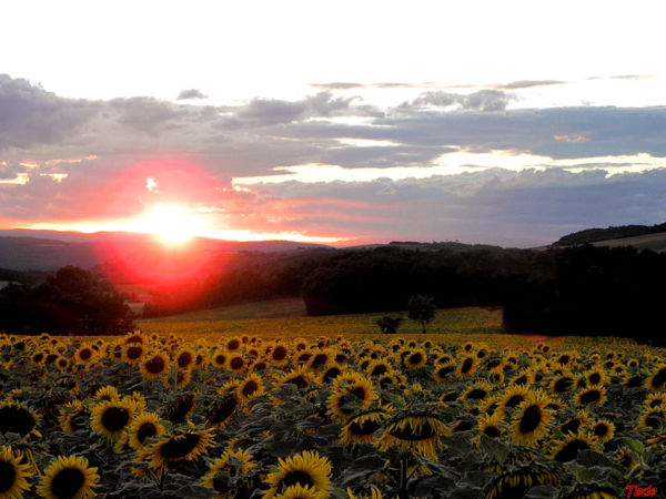 Coucher de soleil sur les tournesols