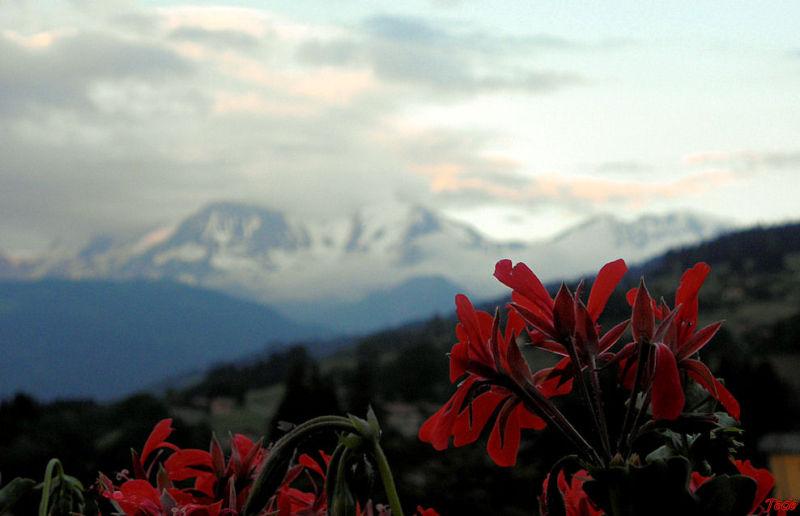 Géranium sur les Alpes