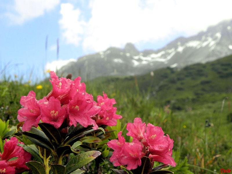 Rhododendrons dans les Alpes