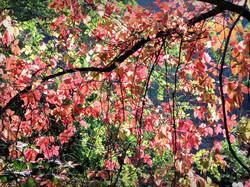 Un automne écarlate...