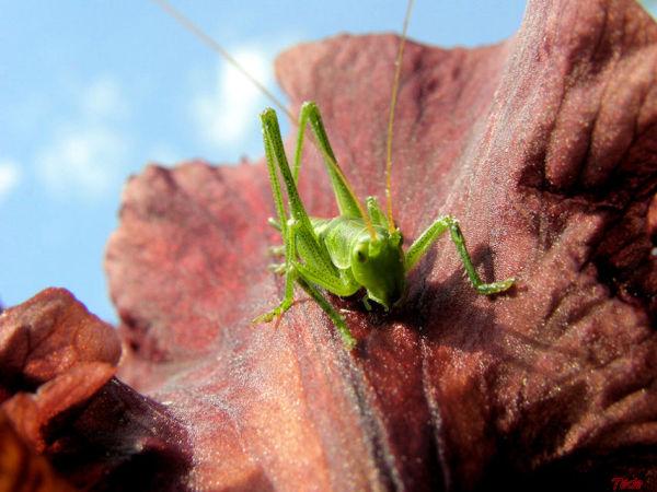 La sauterelle verte