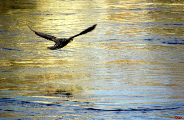 L'oiseau noir...