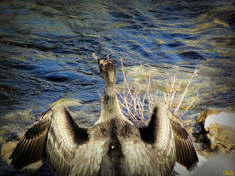 Le cormoran sèche ses ailes
