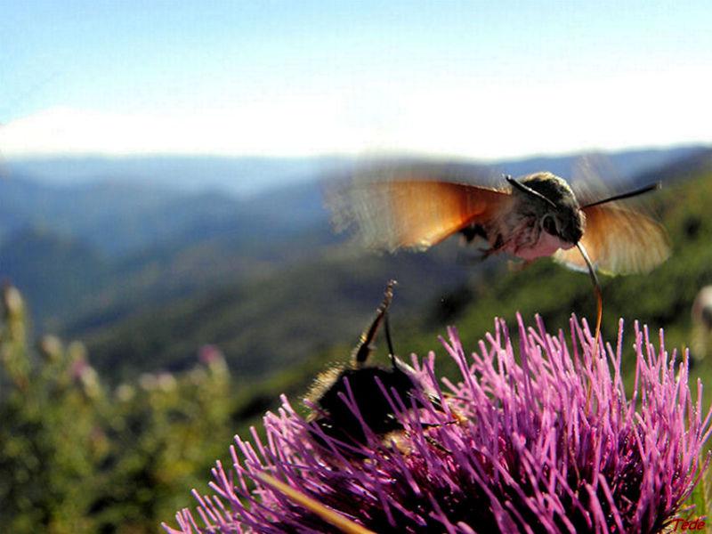 Papillon moro-sphinx