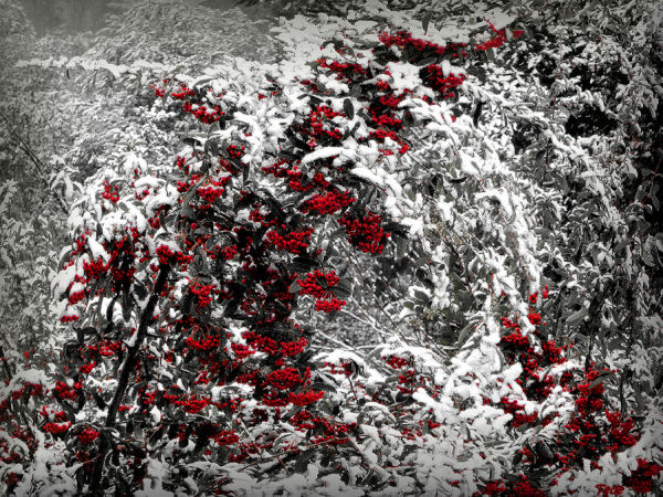 Pyracantha sous la neige