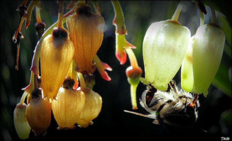 Bourdon et fleurs d'arbousier
