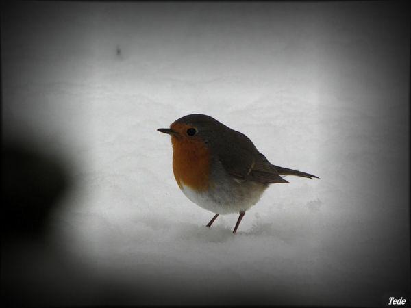 Le rouge-gorge et la neige