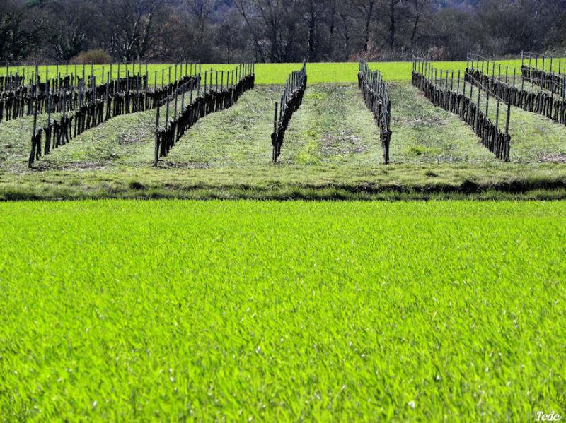 Vignes et blé vert
