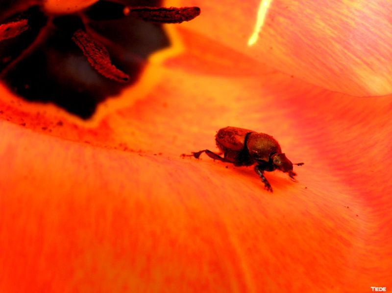 La tulipe et le charançon