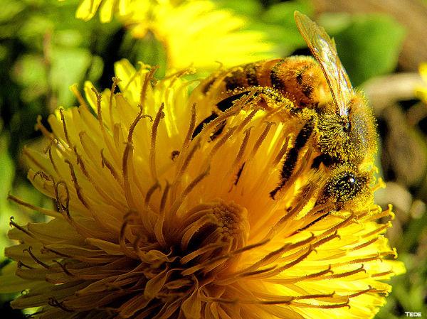 L'abeille d'or