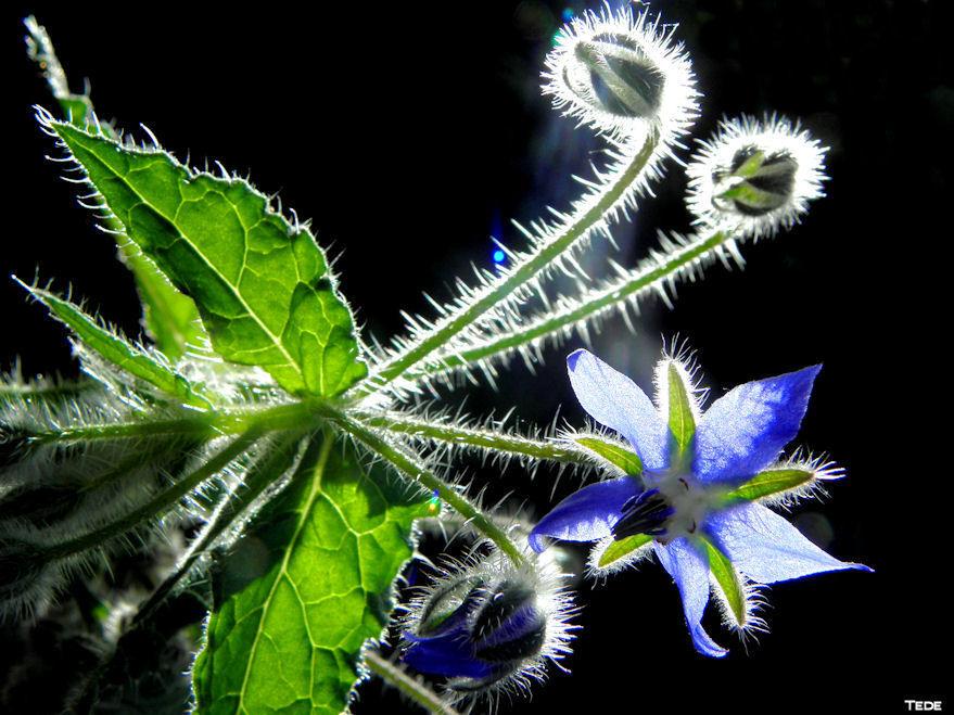 Fleurs de bourrache
