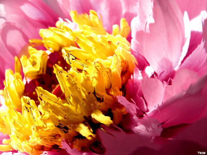 Fleur de pivoine