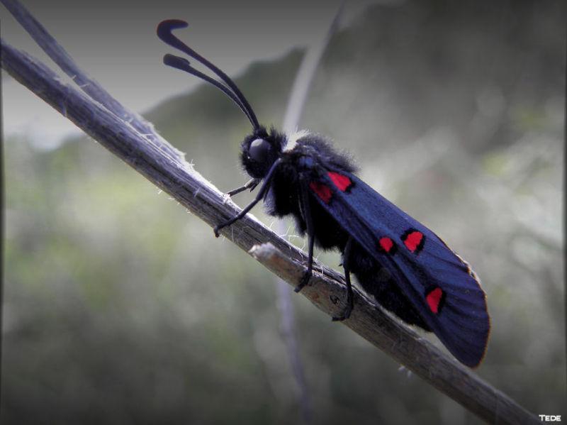 Papillon zigène
