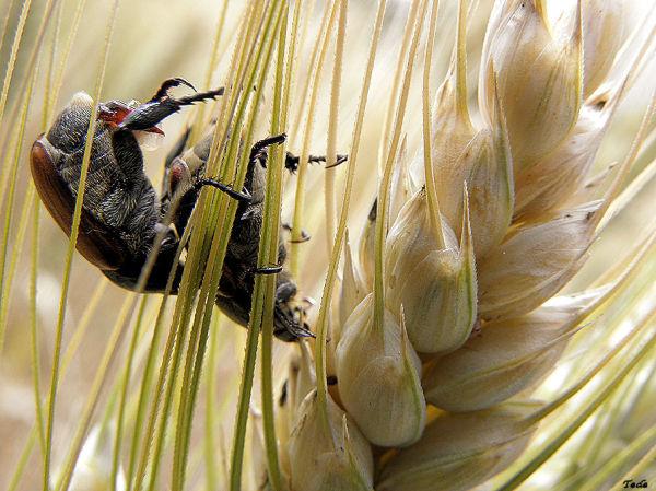 L'amour  est  dans  le  blé...