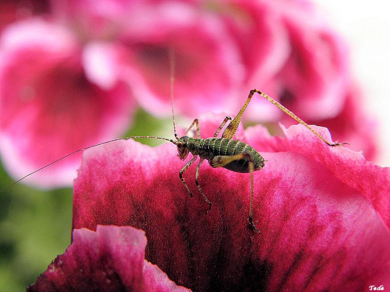 La sauterelle et le pélargonium