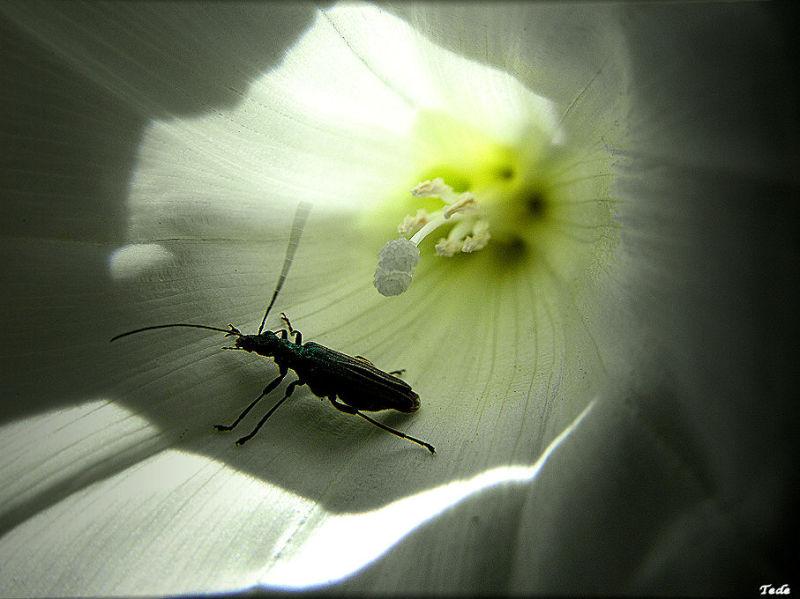 L'insecte et le liseron